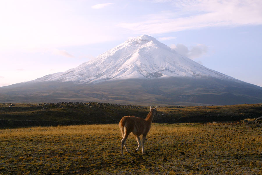 Llama walking in the cotopaxi national park