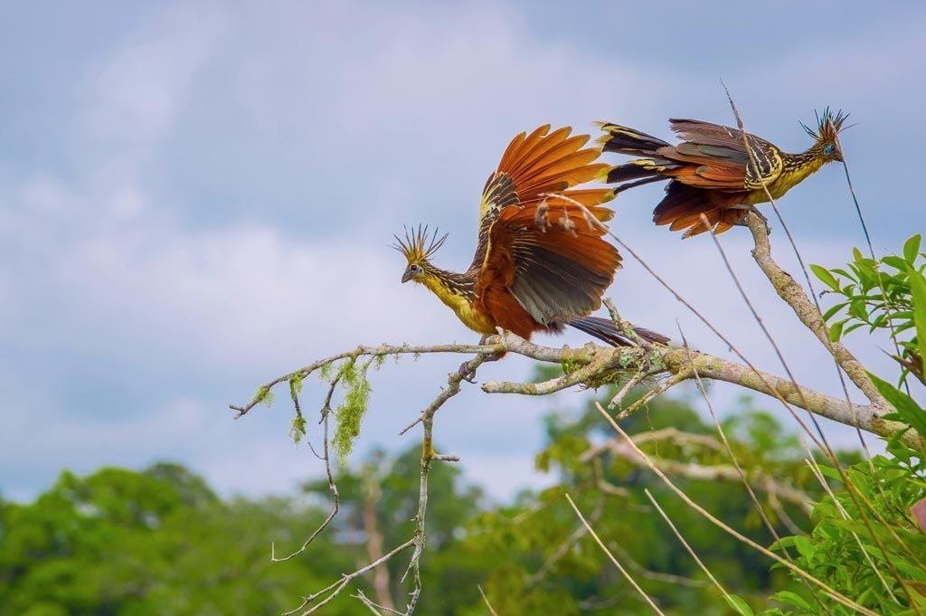 Episthocomus hoazin bird at cuyabeno reserve ecuador