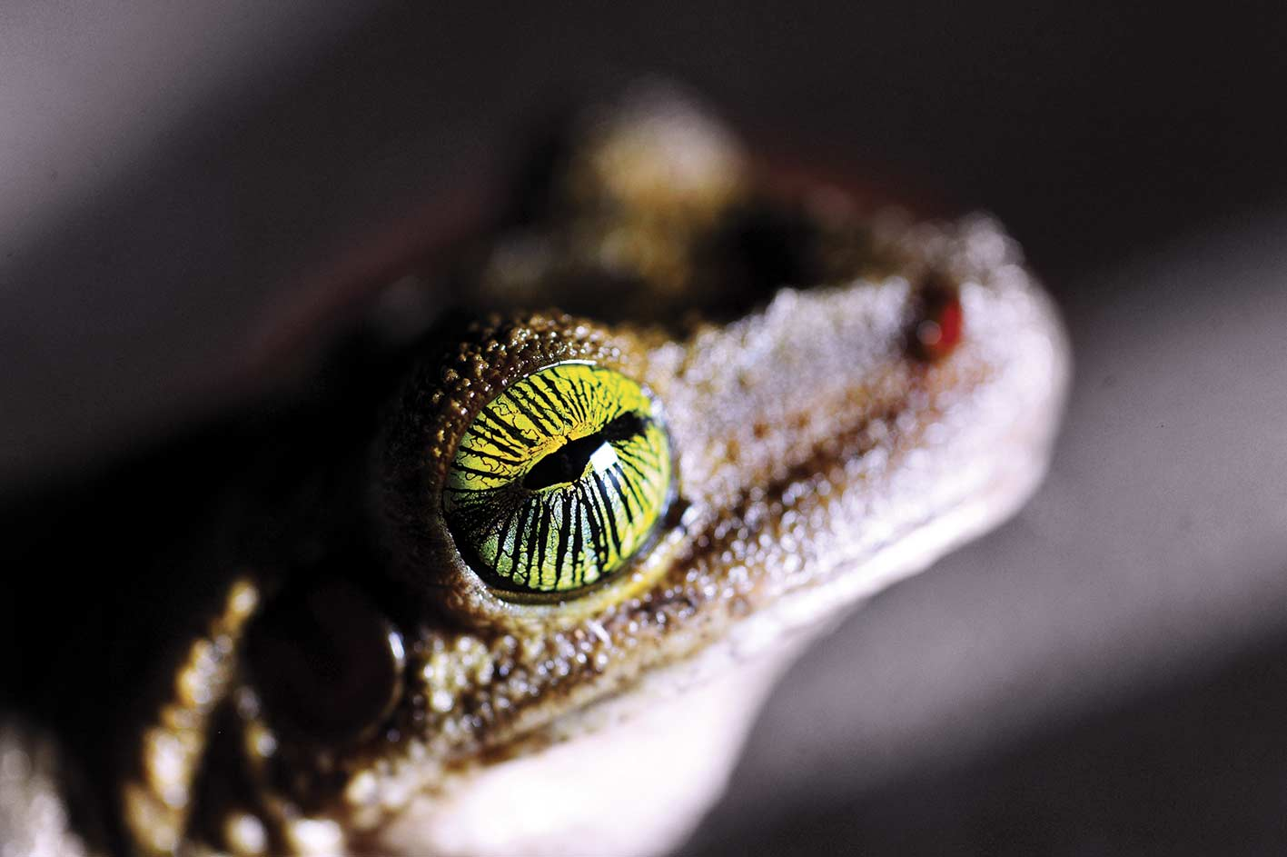Amazon frog crazy eye