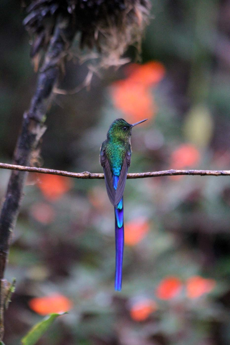 amazing bird in Mindo cloudforest