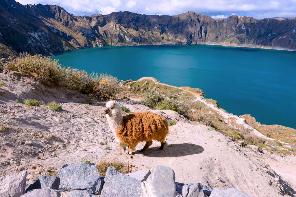 Alpaca inside the crater of quilotoa lagoon 2019