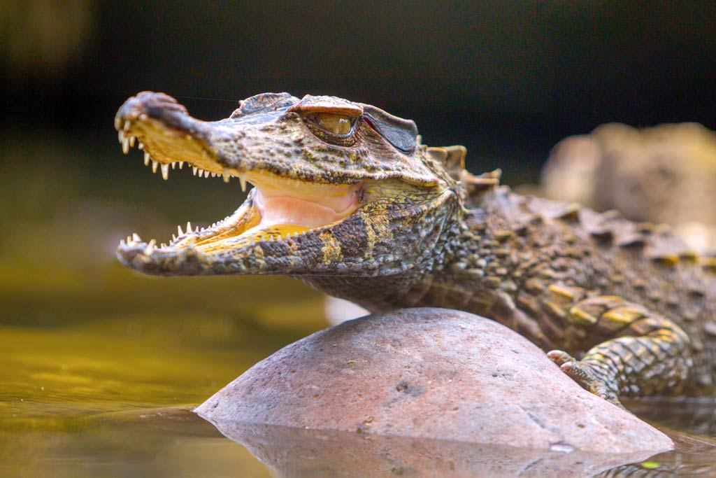 caiman of the cuyabeno rainforest
