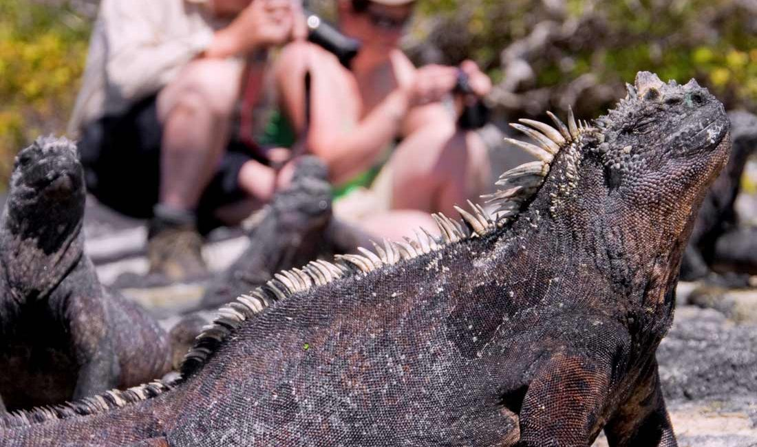 Iguanas in galapagos with tourists 2020