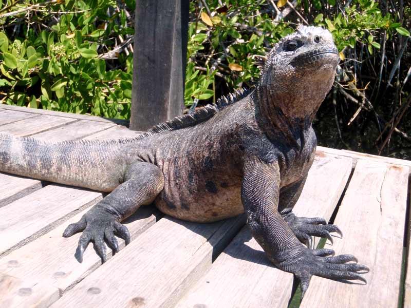 land iguana posing for photo