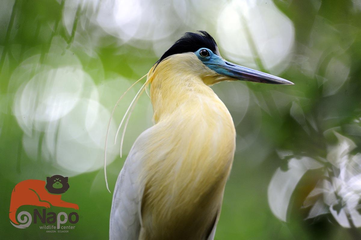 rare bird in the yasuni rainforest