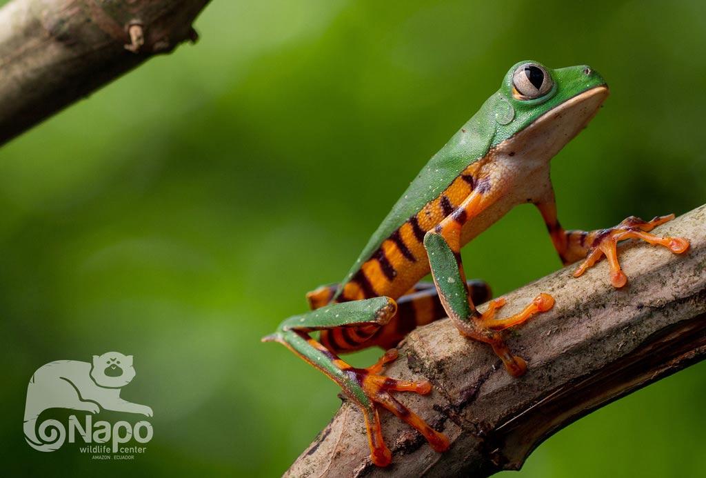Rare frog of the amazon in Ecuador