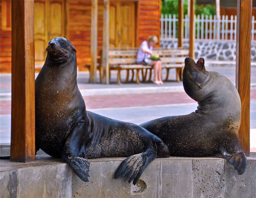 Sea lions on the streets of galapagos san cristobal